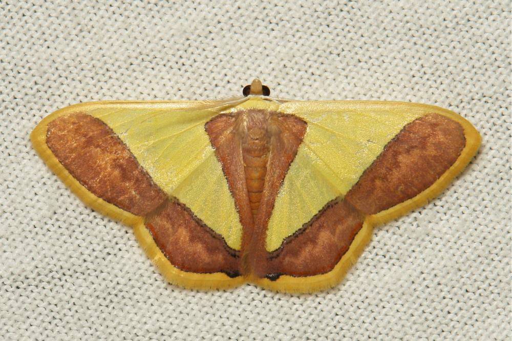 Geometridae Moth Plutodes exquisita Ennominae