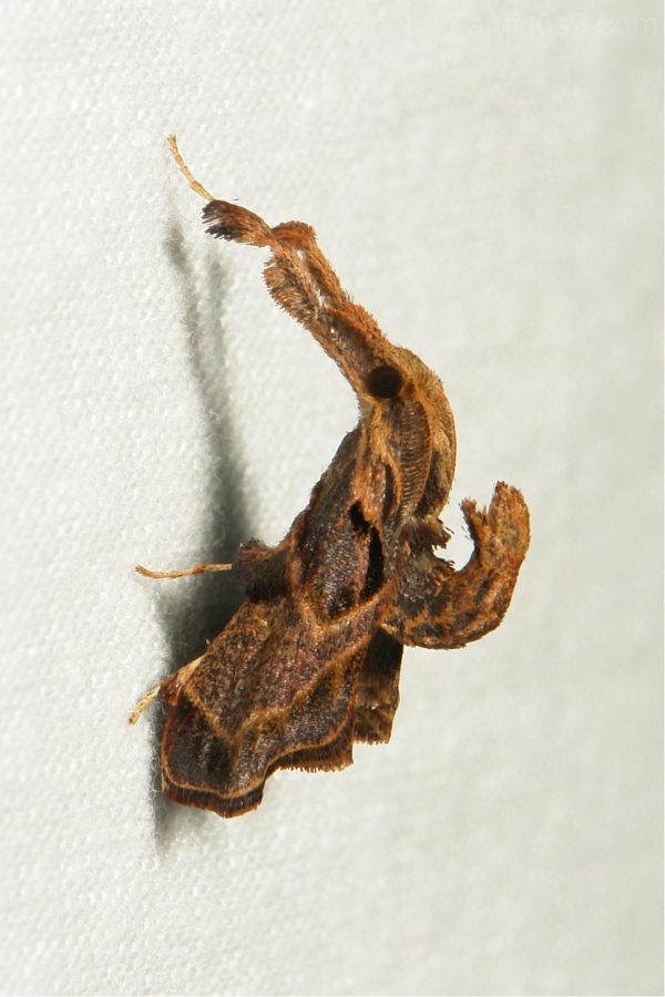 Pyralidae Snout Moth Sacada Datanoides China