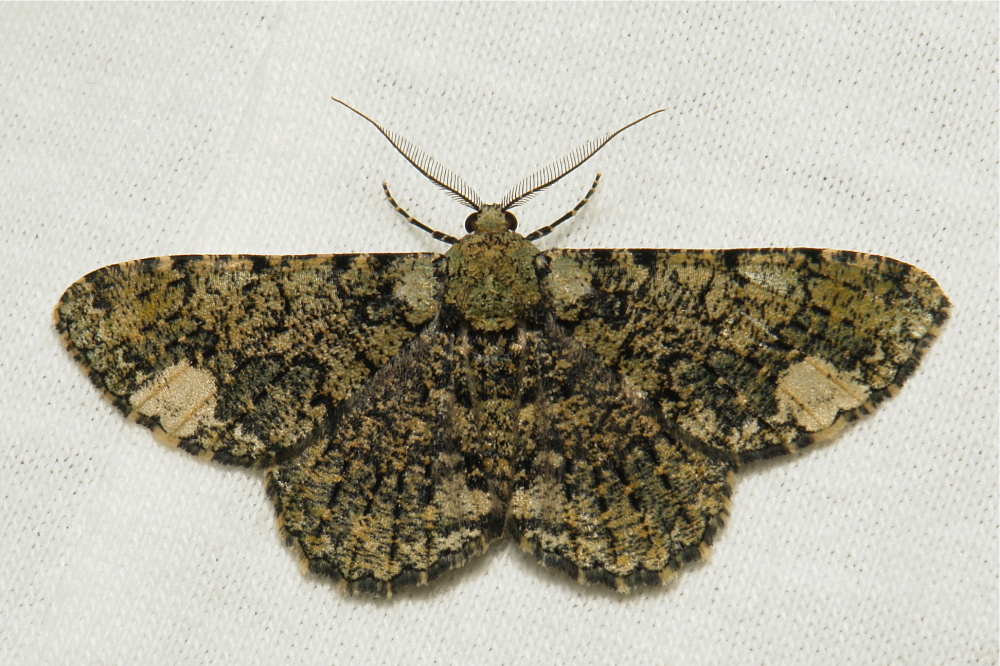 Geometridae Moth Ophthalmitis xanthypochlora China
