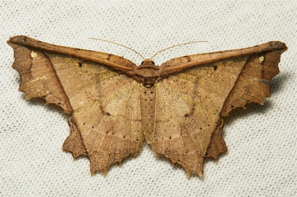 Geometridae Moth Krananda Ennominae China