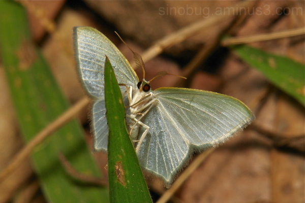 Geometrinae Moth Geometridae China Yunnan