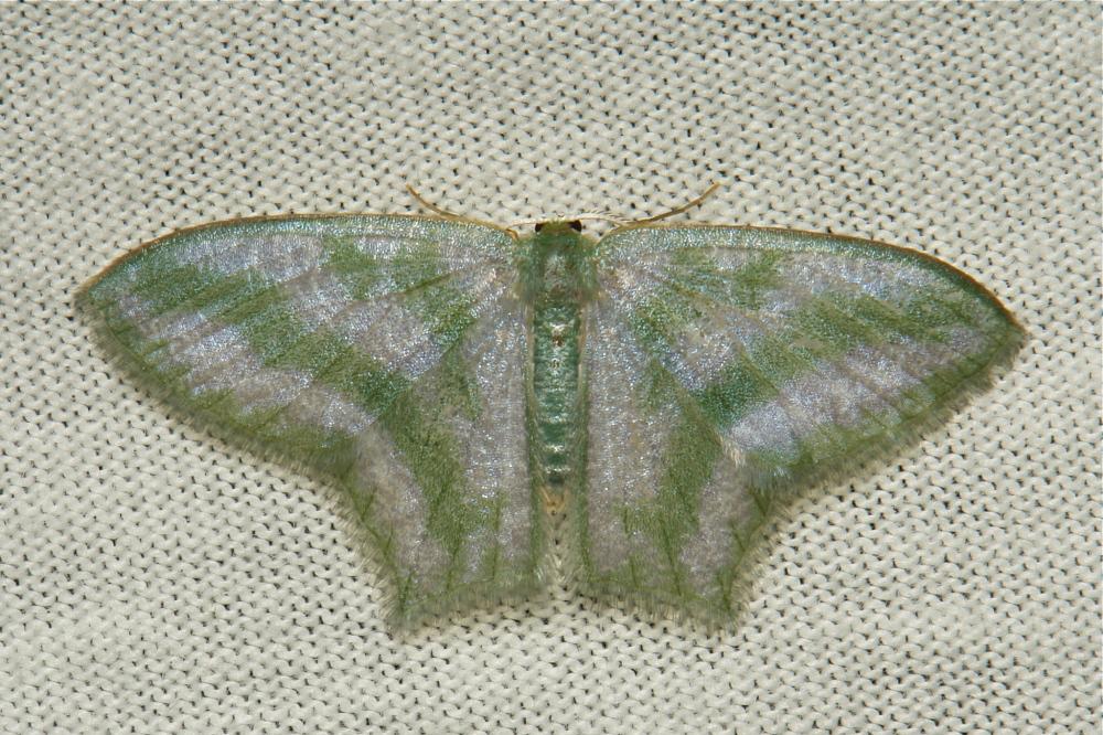 Geometridae Moth Maxates thetydaria Geometrinae