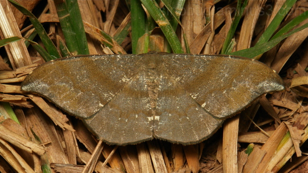 Geometridae Moth Hyposidra aquilaria Ennominae