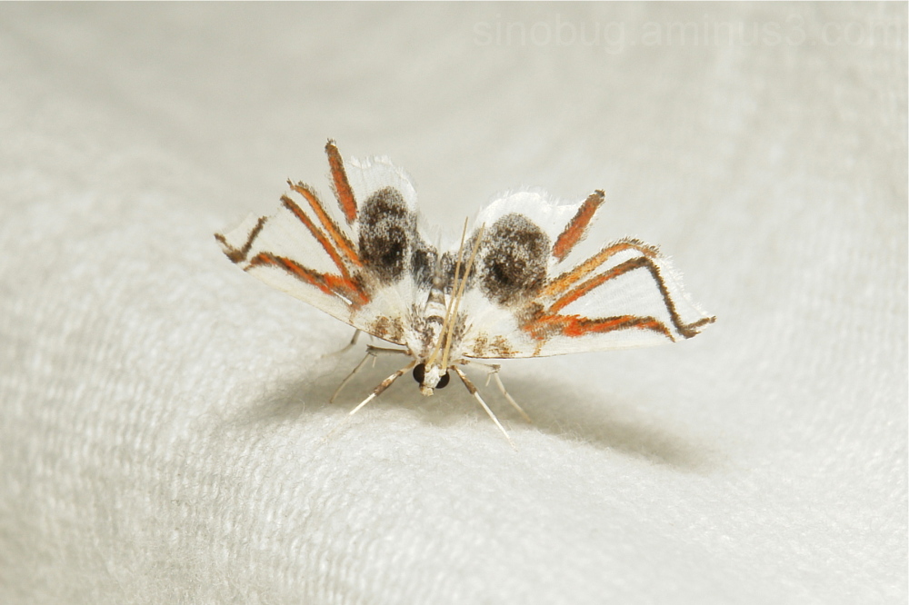 Spider Moth Siamusotima Musotiminae Crambidae