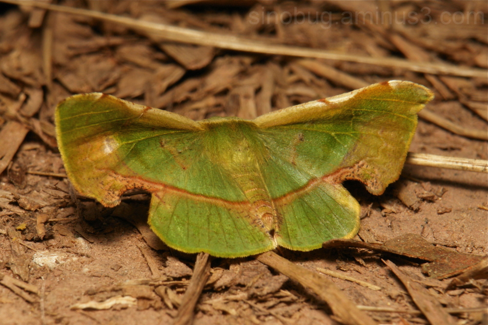 Geometridae Moth Fascellina plagiata Ennominae