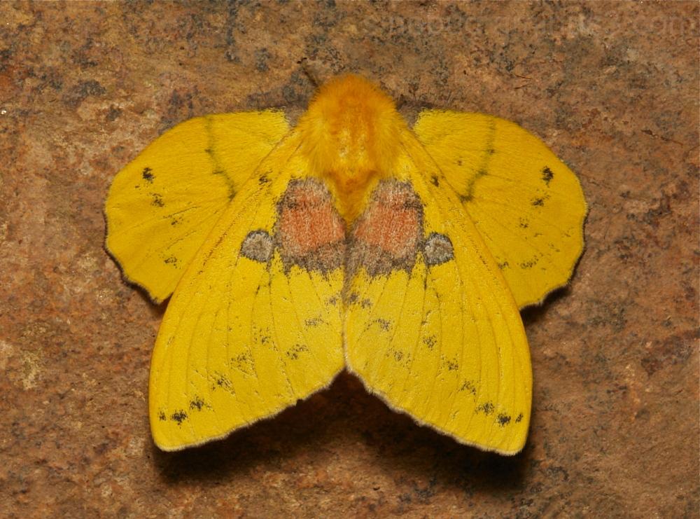 Lappet Moth Trabala China Lasiocampidae