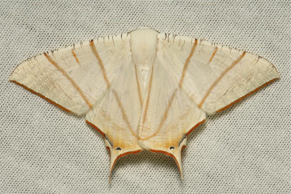 Geometridae Swallowtail Moth Ourapteryx clara