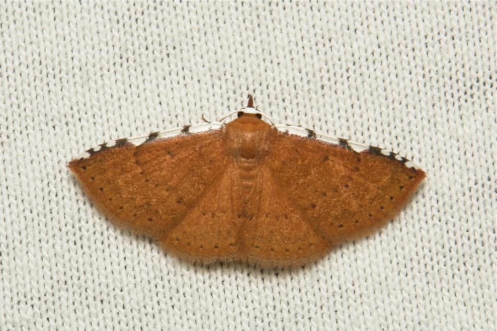 moth Erebidae China Yunnan