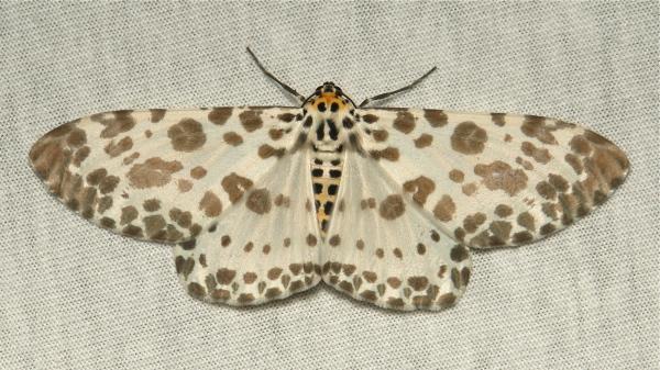 Geometridae Moth Percnia Ennominae China