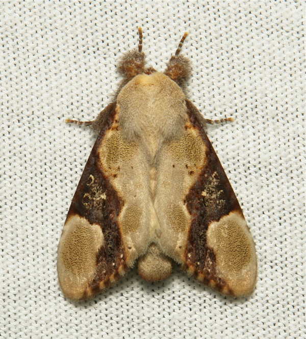 Notodontidae Moth Formofentonia orbifer China