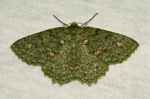 Geometrid Moth Herochroma ochreipicta Geometrinae