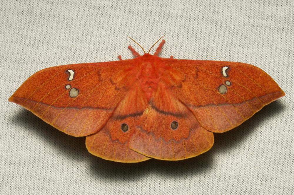 Saturniidae Moth Cricula jordani China Yunnan