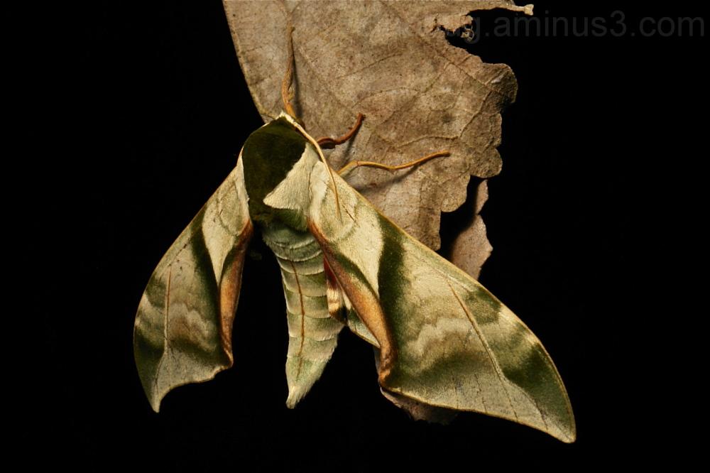 Hawk Moth Callambulyx diehli Smerinthinae China