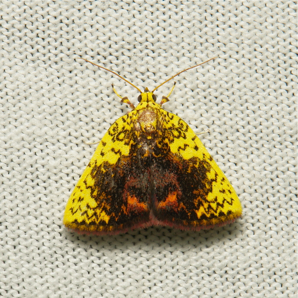 Nolidae Moth Siglophora Chloephorinae China