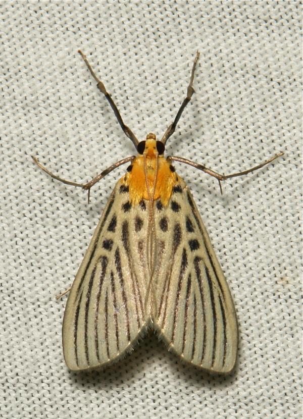 Crambidae Moth Tyspanodes hypsalis Spilomelinae