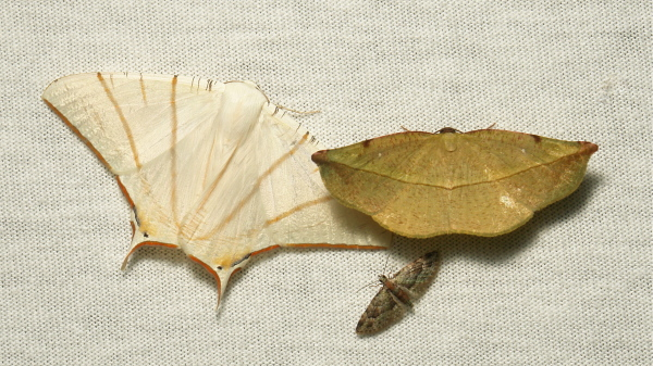 moth Geometridae Ennominae Larentiinae China