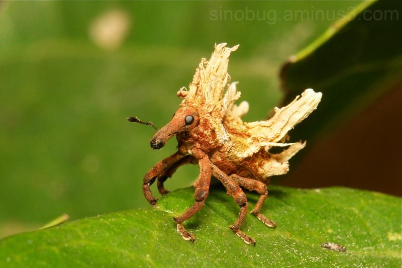 weevil China beetle Coleoptera Curculionidae
