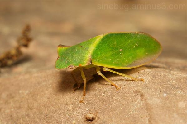 Leafhopper Tituria Ledrinae Cicadellidae China