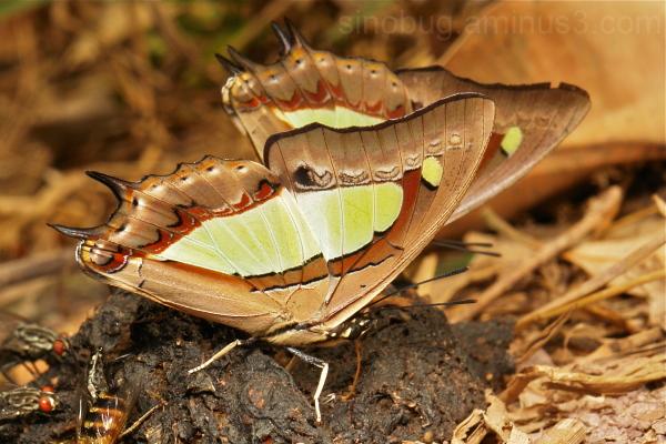 Nawab Polyura athamas Charaxinae Nymphalidae