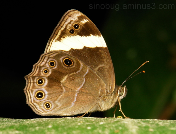 Straight-banded Treebrown Lethe verma Satyrinae