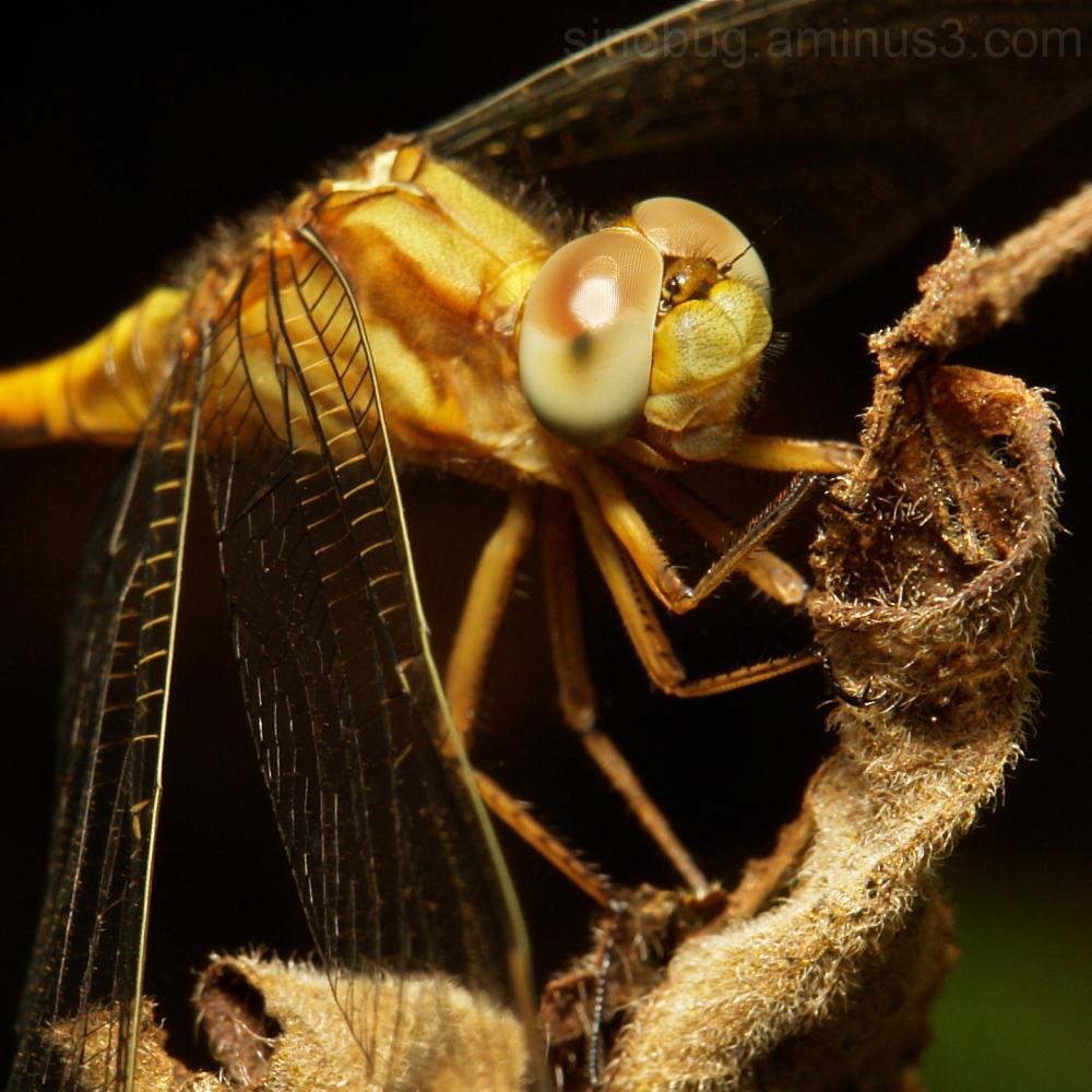 dragonfly Odonata China macro