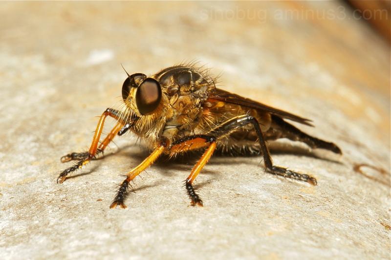 robber fly Asilidae Diptera China Yunnan