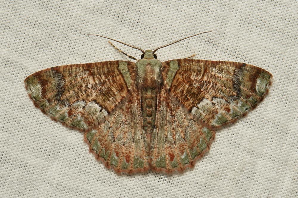 Geometridae Moth Lophophelma Geometrinae China