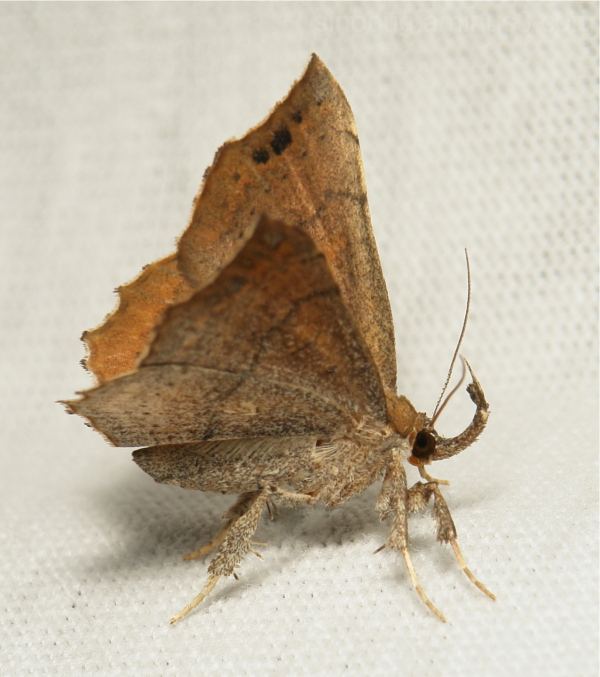 China Moth Egnasia Pangraptinae Erebidae