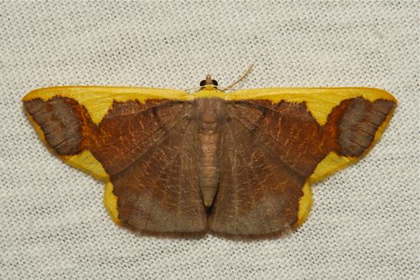 Geometridae Moth Plutodes costatus Ennominae