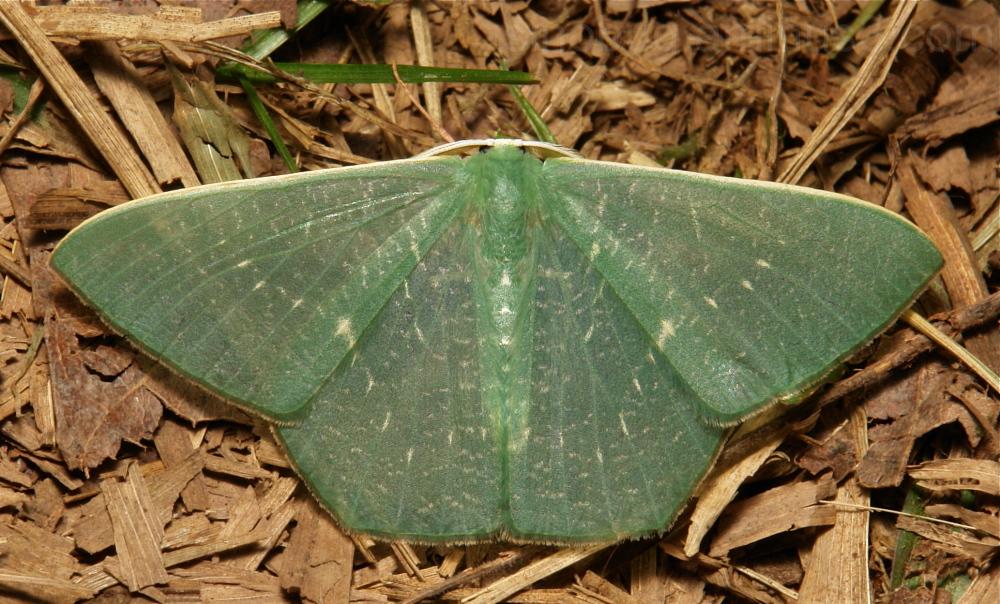 Geometridae Moth Orothalassodes Geometrinae China