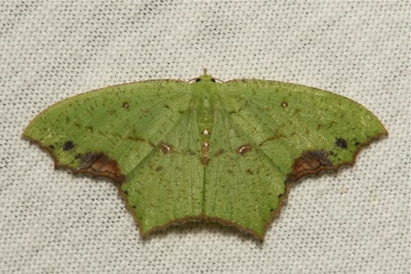 Geometridae Moth Dooabia Geometrinae China
