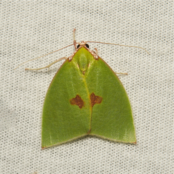 Moth Tyana Nolidae China Yunnan