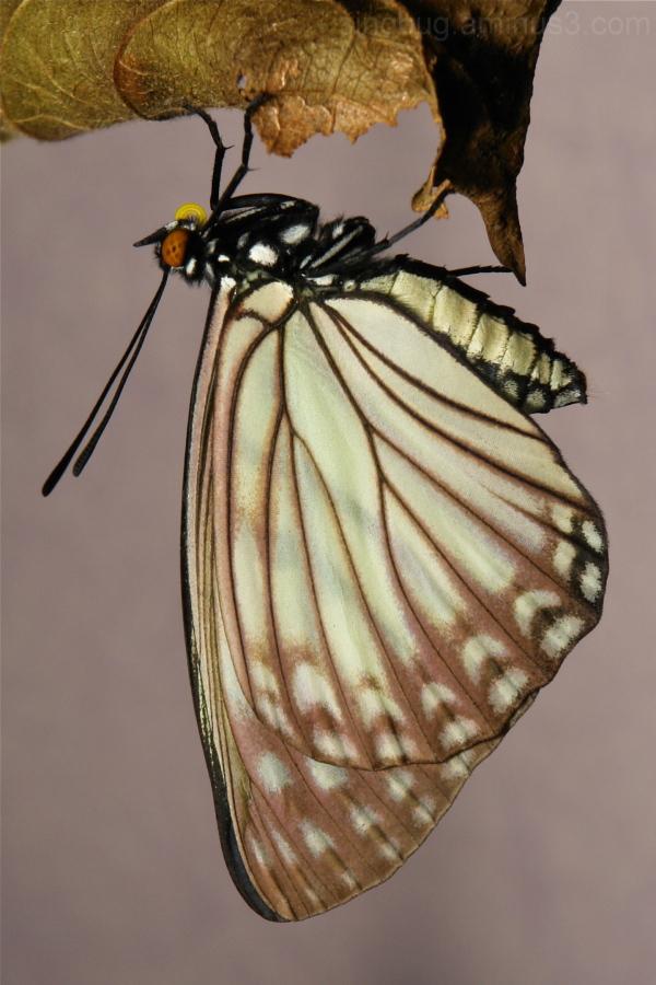 Hestina persimilis Apaturinae Nymphalidae siren