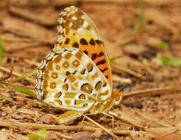 Indian Fritillary Argyreus hyperbius Nymphalidae