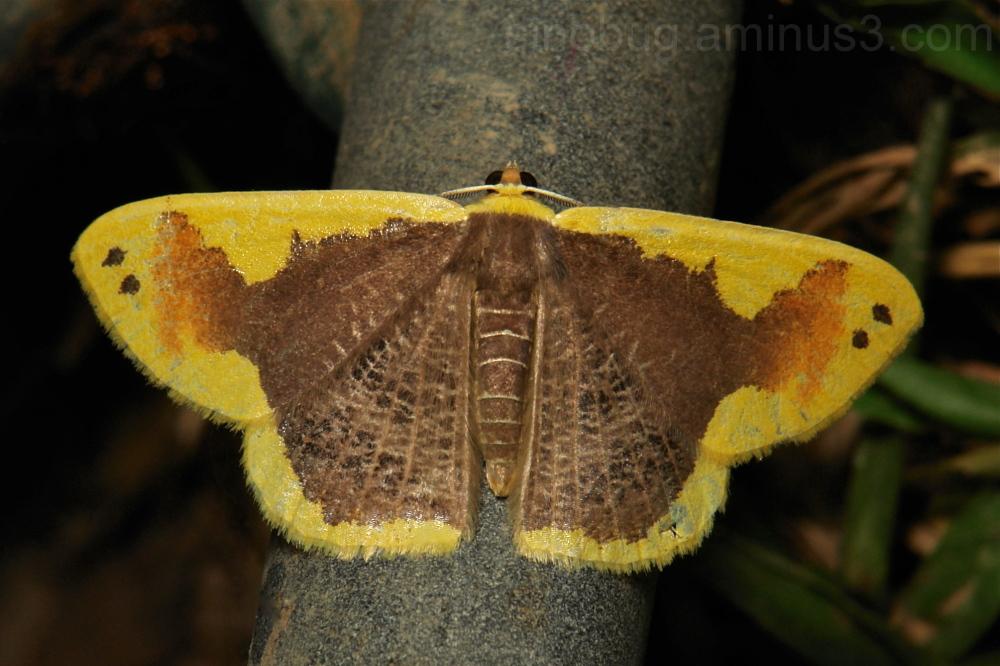 Geometridae Moth Plutodes moultoni Ennominae