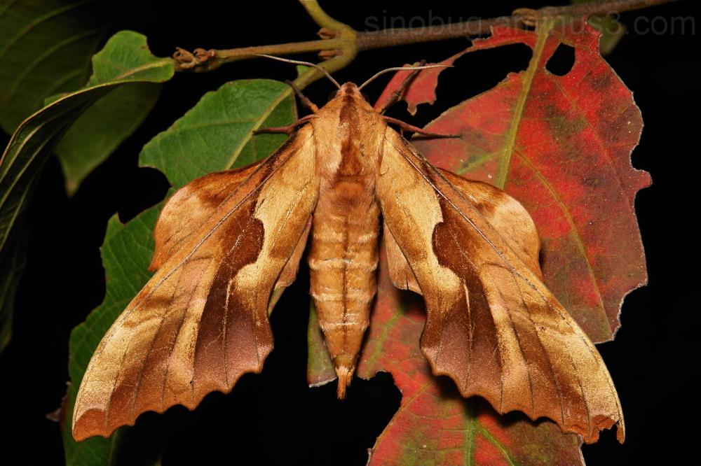 Hawk Moth Phyllosphingia dissimilis perundulans