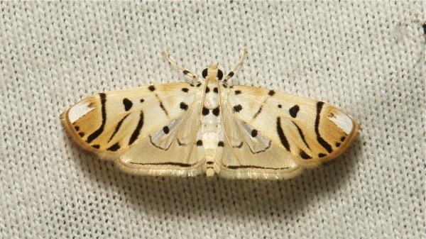 Crambidae Moth Pycnarmon radiata Spilomelinae