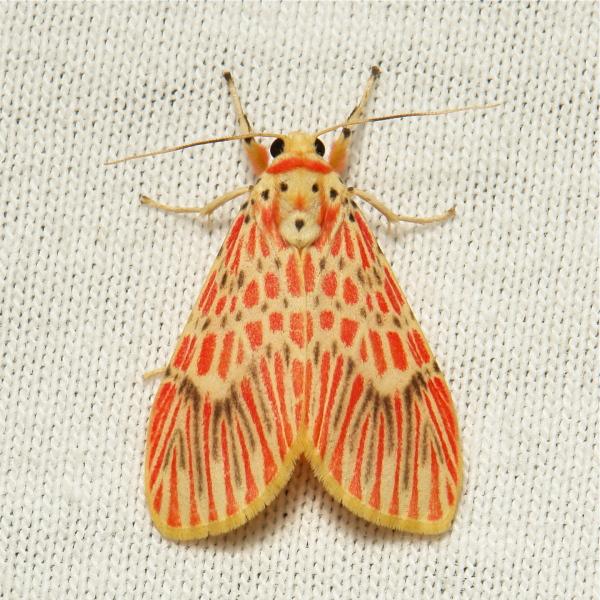 Moth Barsine orientalis Lithosiini Arctiinae China