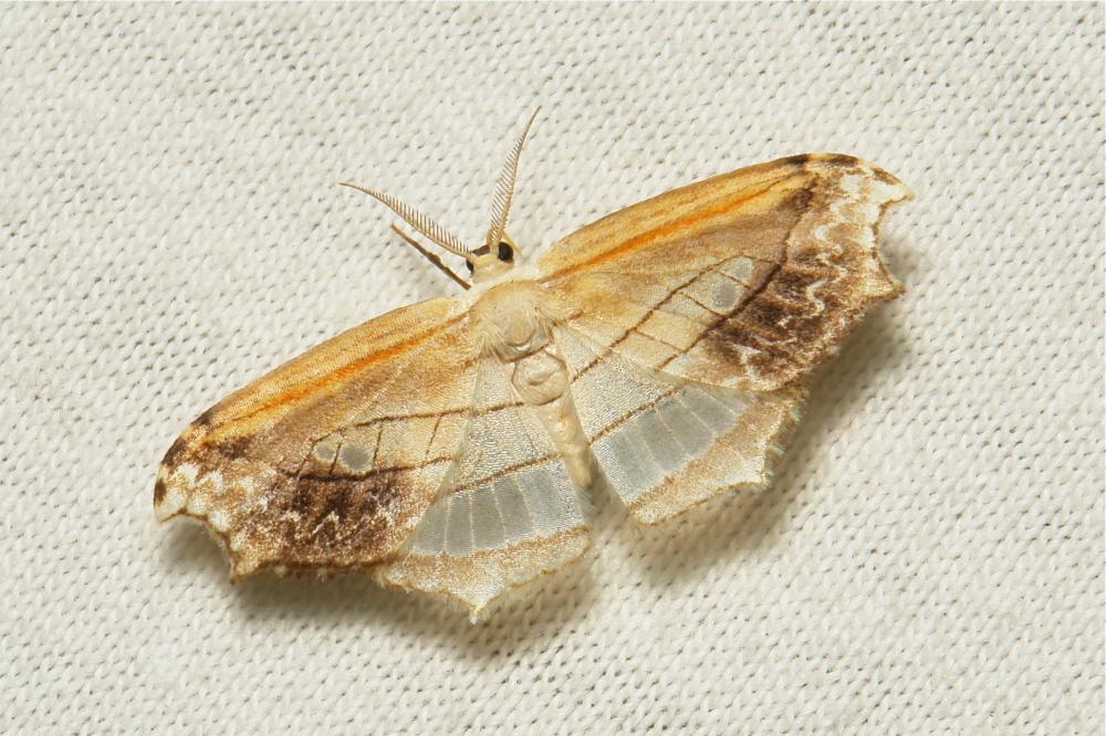 Hooktip Moth Leucobrepsis Drepaninae Drepanidae