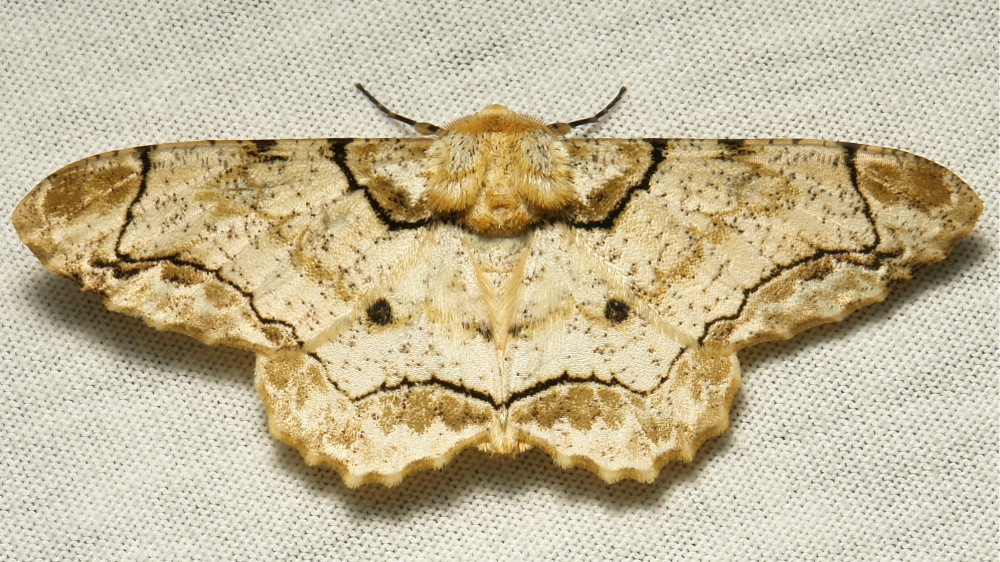 Geometridae Moth Biston bengaliaria Ennominae