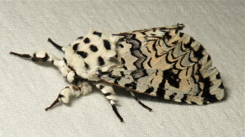 Puss Moth Paracerura Cerura Notodontidae China