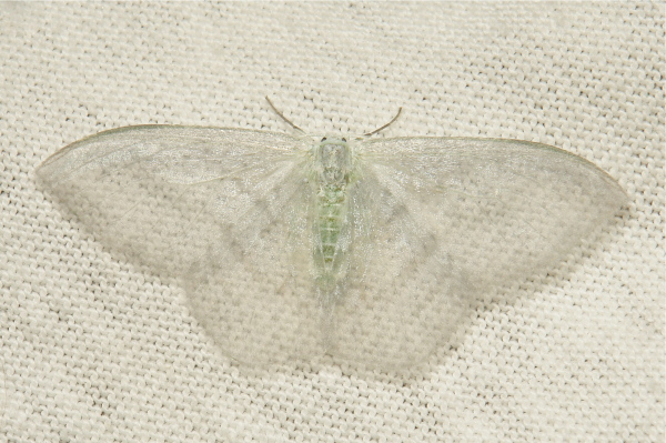 Drepaninae Moth Deroca hidda Drepanidae China