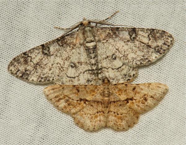 moth Geometridae Ennominae China Yunnan