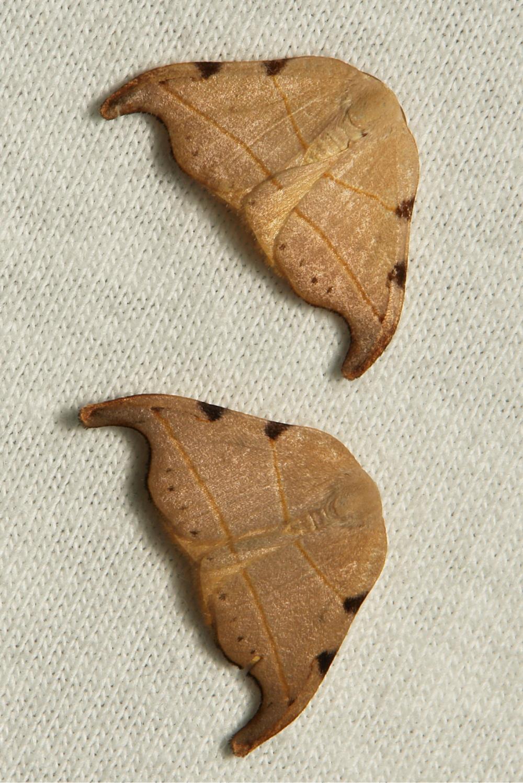 Hooktip Moth Nordstromia Drepaninae Drepanidae