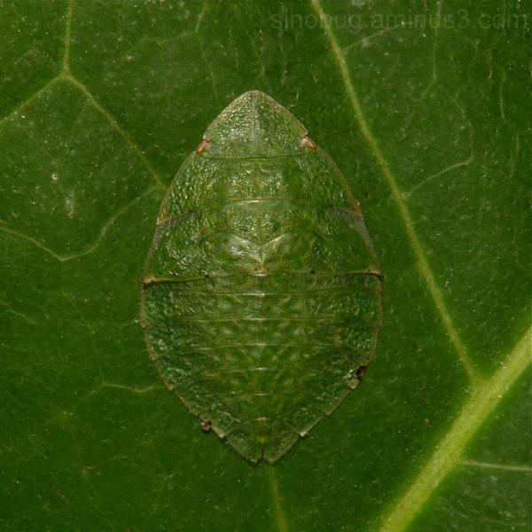 Leafhopper Nymph Ledrinae, Cicadellidae China