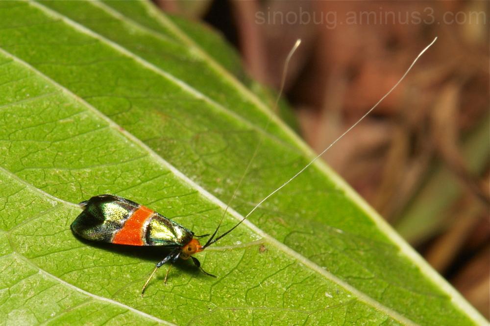 Fairy Longhorn Moth Nemophora rubrofascia Adelidae