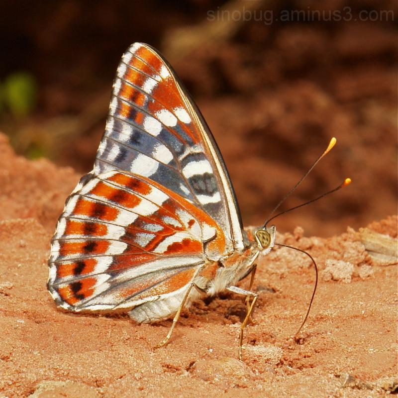 Oberthur's Admiral Chalinga elwesi Nymphalidae