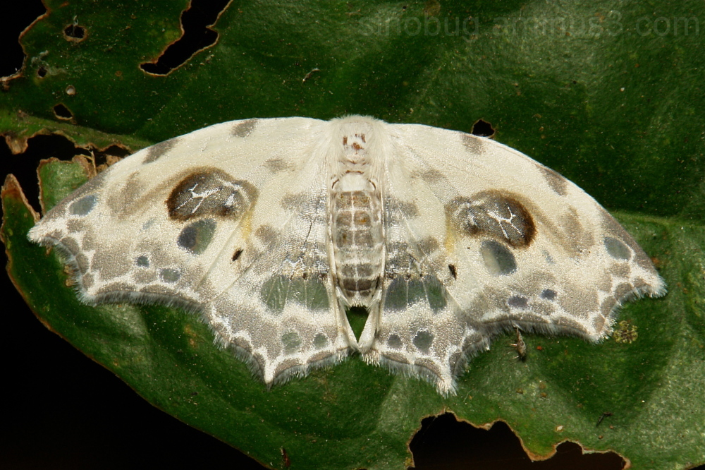 Drepanidae Moth Auzata Drepaninae China