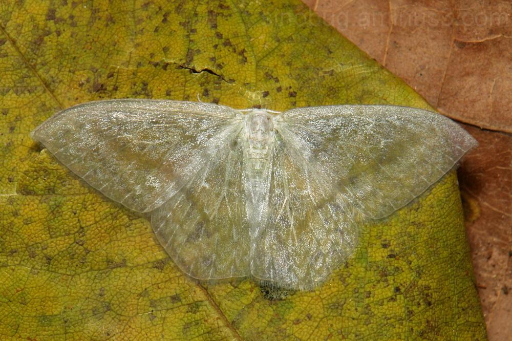 Drepanidae Moth Deroca hidda Drepaninae