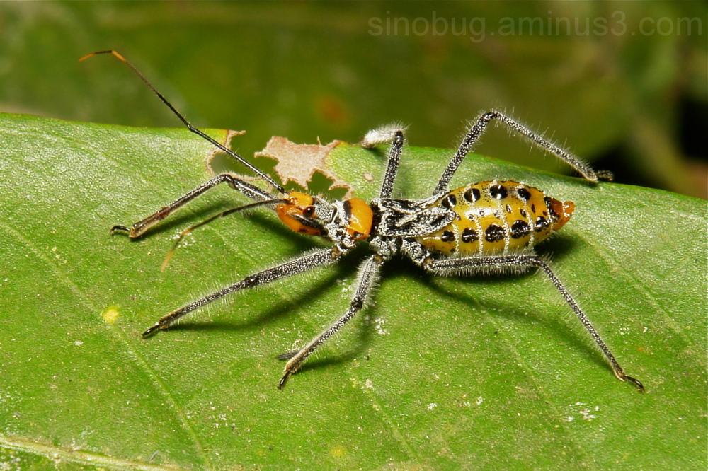 Assassin Bug Nymph Reduviidae Hemiptera China